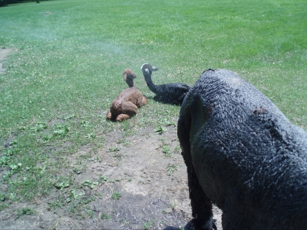 Cria enjoying a shower on a hot day
