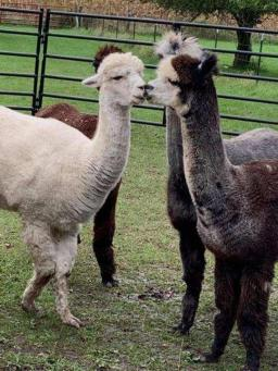 Alpaca Farm Days b